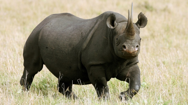 SF Man Gets Year in Prison for Selling Rare Rhino Horns