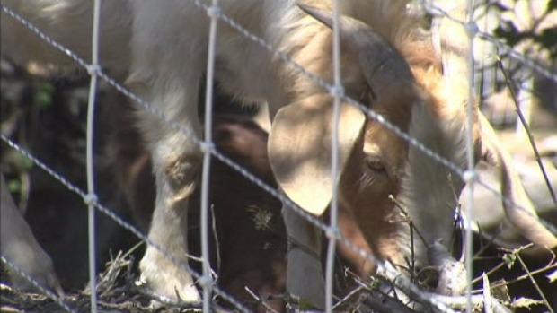[BAY] Brush-Munching Goats Helping Clear Dry Fuel During Wildfire Season