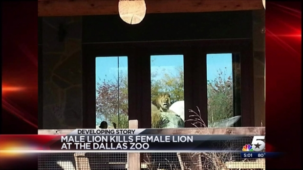 [DFW] Dallas Zoo Male Lions Kill Lioness