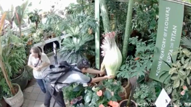 Caught on Cam: Man Fondles Corpse Flower at SF Conservatory