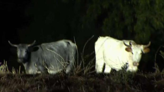 [BAY] Cows Make Themselves at Home in San Jose Neighborhood