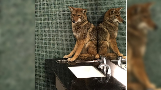 Unbelievable Animals: Coyote in Nashville Bathroom