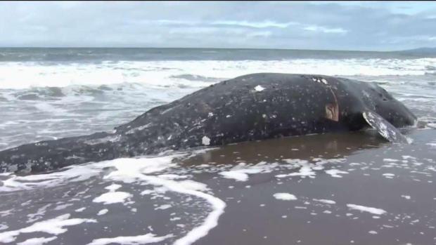 [BAY] Dead Whale Washes Ashore at Ocean Beach in San Francisco
