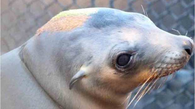 Another Sea Lion Rescue, This Time From Under a Car