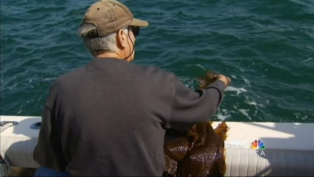 "[BAY] California Researchers Embark on ""Kelp Watch 2014"""