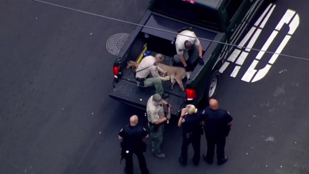 [BAY] RAW VIDEO: Department of Fish and Wildlife Capture Mountain Lion in San Mateo
