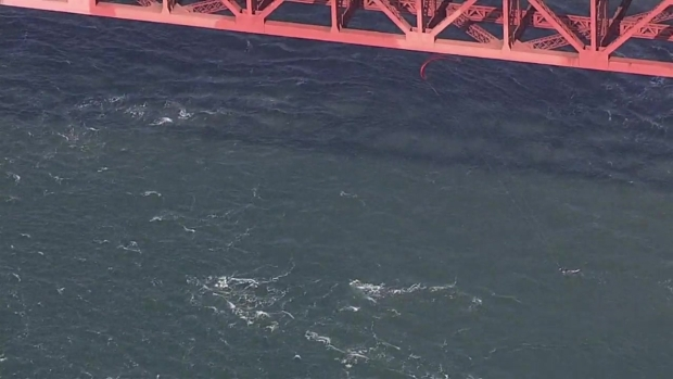 [BAY] Surfers Criss-Cross With Whales Near Golden Gate Bridge