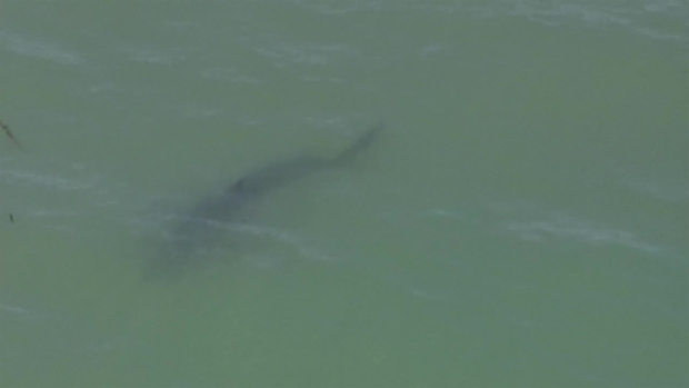 RAW: Shark Spotted in Pacifica