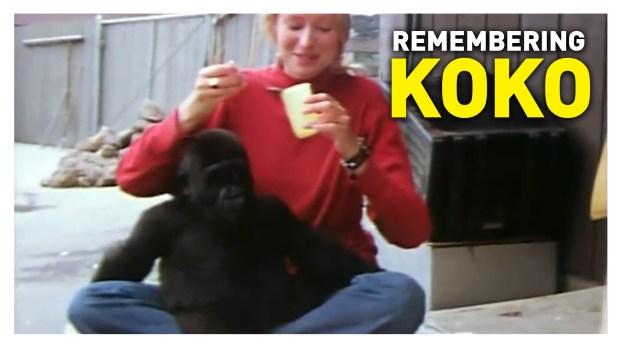 Remembering Koko
