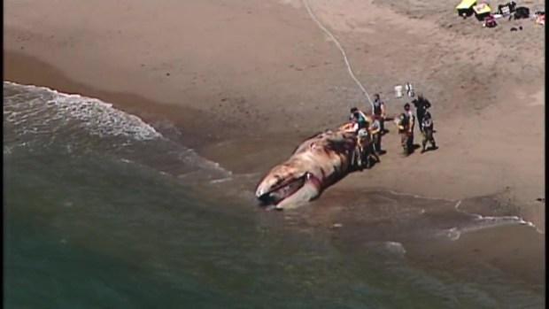 [BAY] RAW: Dead Whale on Angel Island