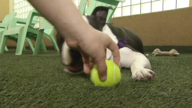 [BAY] RAW VIDEO: Pit Bull Recovering After Case of Animal Abuse