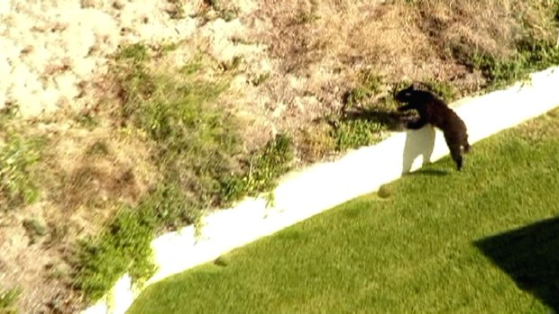 [LA] Raw Video: Bear Jumps Fences Near Golf Course