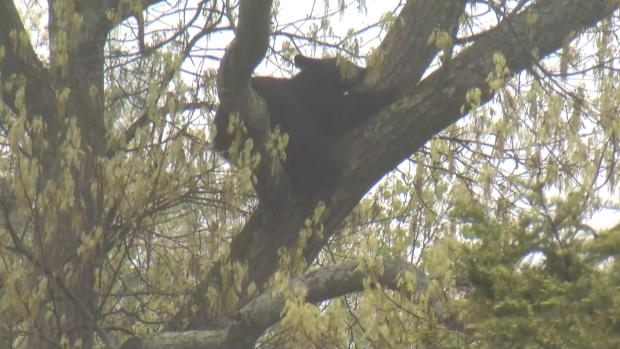 [NATL] Out on a Limb: Bear Hides Out From Cops in Mass. Tree
