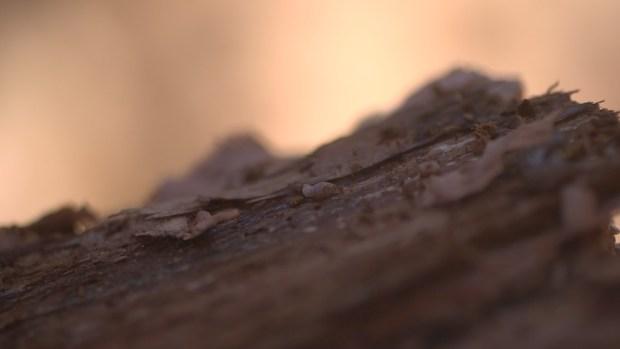 [BAY] Bark Beetle Outbreak Kills Millions of Trees Statewide