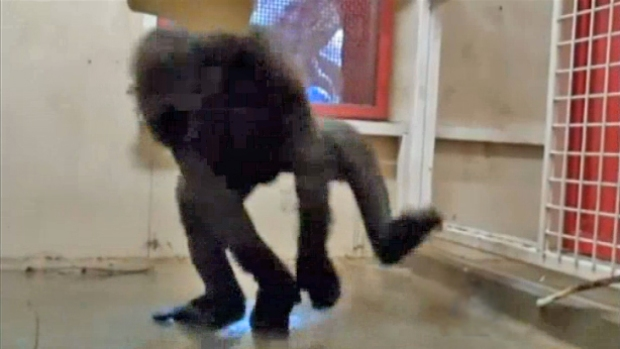 [NATL-DFW] Break-Dancing Gorilla Moves to Dallas Zoo
