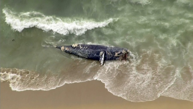 [BAY] Raw Video: Gray Whale Washes Ashore in Half Moon Bay