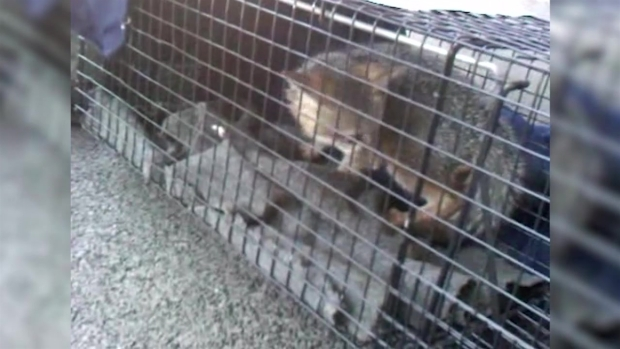 Wildlife Officials Capture Fox Living in a Home with Children