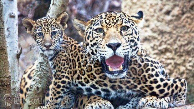 Jaguar Cub Born at Fort Worth Zoo