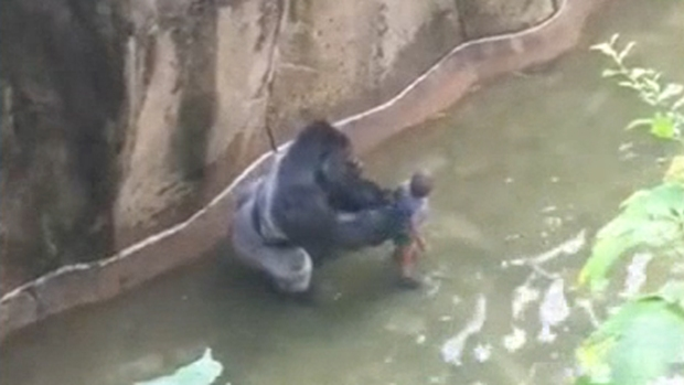 [NATL-LA] Full Video: Silverback Gorilla Grabs Boy at Cincinnati Zoo