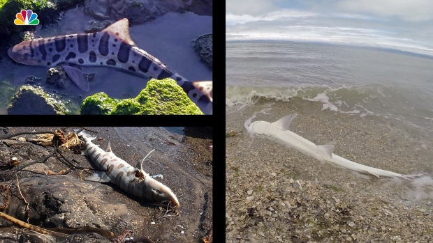 Sharks and other Sea Life Wash Ashore Along San Francisco Bay