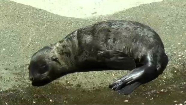 RAW: Six Flags Discovery Kingdom's New Sea Lion Takes to the Water