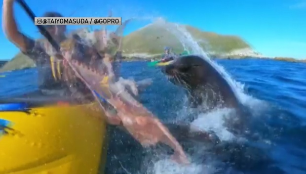 [NATL-DFW] Watch Seal Slap Kayaker in the Face With Octopus