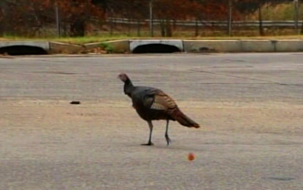 [NY] Is That a Turkey on the Turnpike?