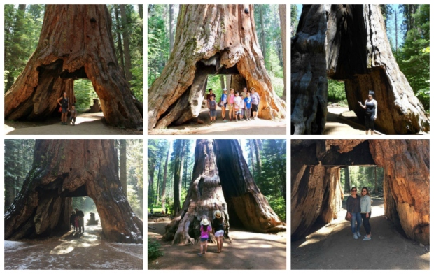 Remembering the Famous 'Pioneer Cabin Tree'