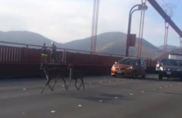 [BAY] RAW VIDEO: Deer Spotted on Golden Gate Bridge