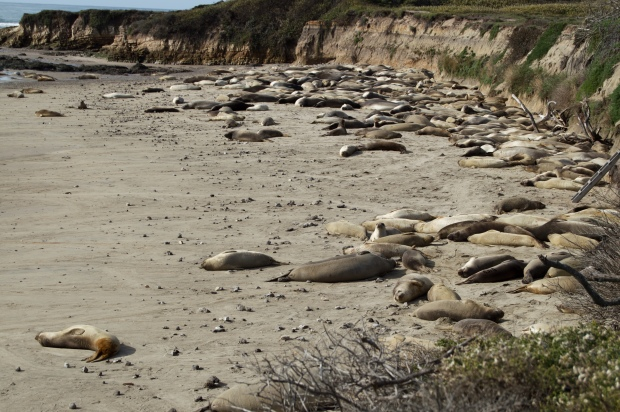 Bull Seals Begin to Arrive at Año Nuevo for  Mating