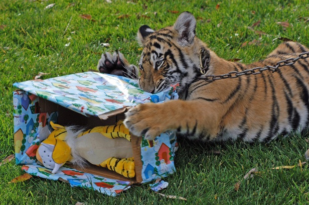 Christmas Comes Early for Tiger Cubs
