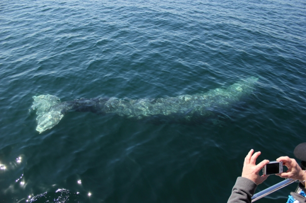 [WORTH THE DRIVE] Dana Point Festival of Whales