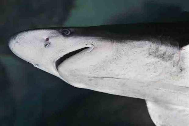Shark's Short Stay Ashore