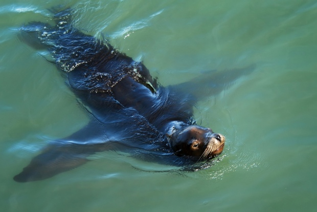 Local Sea Lions Released into the Wild