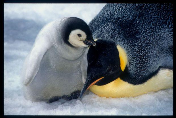 Emperor Penguins Becoming Extinct?