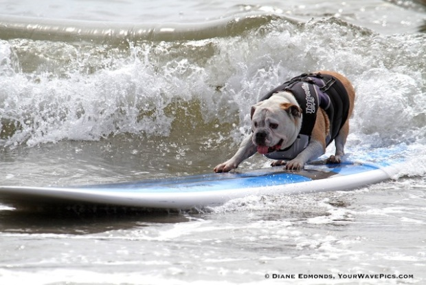 PHOTOS: Dogs Surfing (Yes, Dogs Surf!)