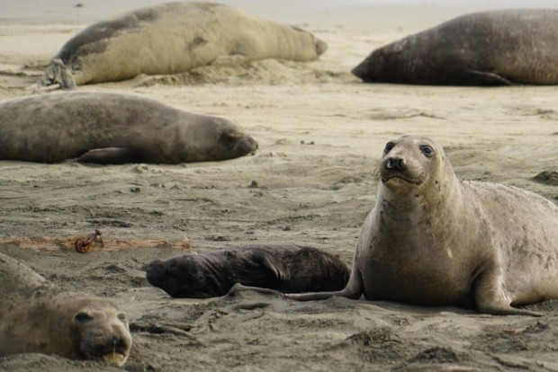 Elephant Seals Take Over Drakes Beach