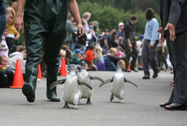 Northern California's Real March of the Penguins
