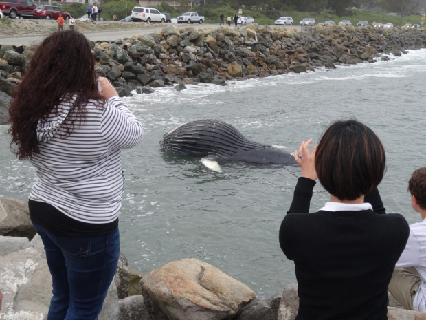 Dead Baby Humpback Whale Washes Ashore in Half Moon Bay