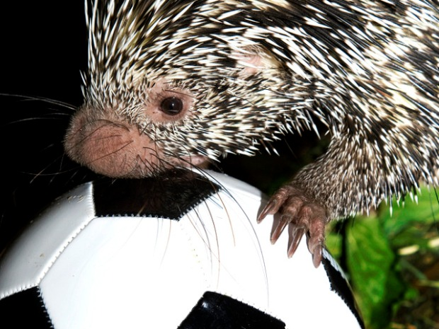 Zoo Animals + World Cup = Oh, Why Not?