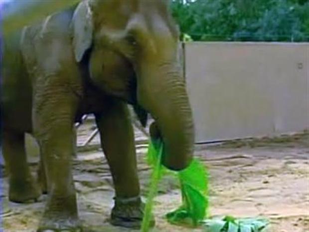 [LA] Billy the LA Zoo Elephant Bobs Head
