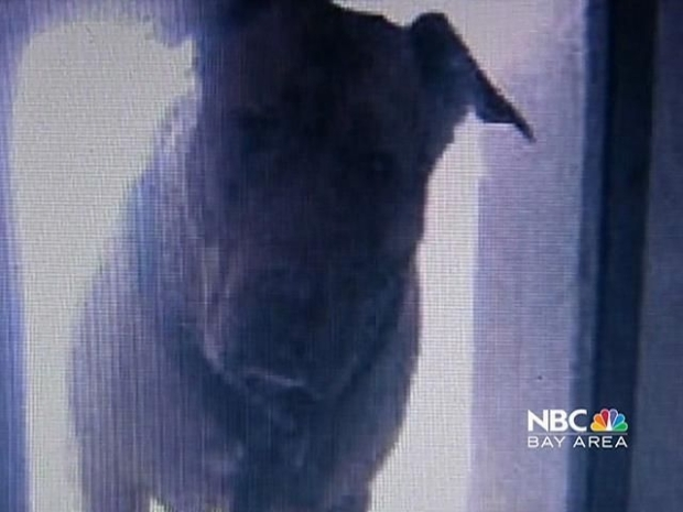 [BAY] Pit Bull Sprung From Doggie Death Row at Last Minute