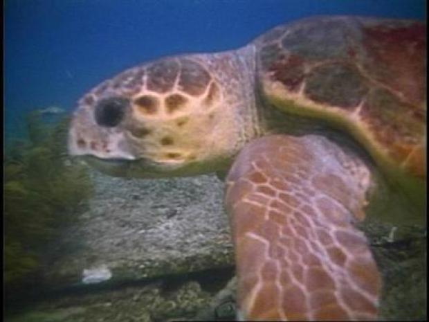 [BAY] Sea Turtles