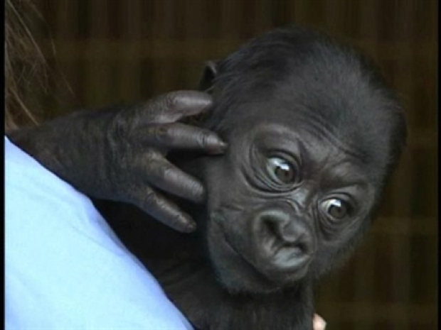 [BAY] The Baby Gorilla is Too Cute