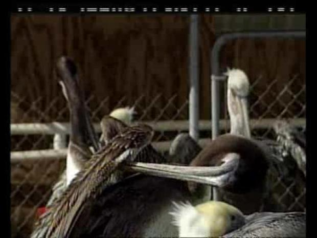 [LA] Pelicans Rest in Shelter (RAW)