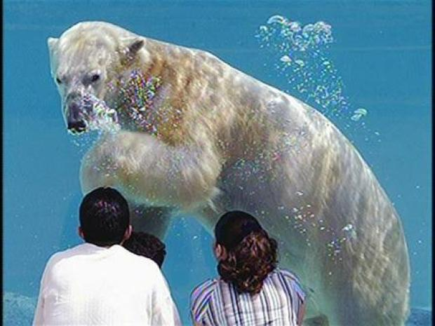 [CHI] Polar Bear Love Connection