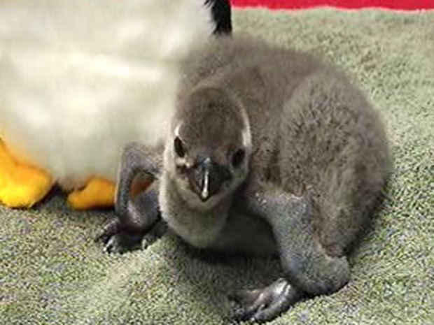 Baby Penguins Hatch At Six Flags