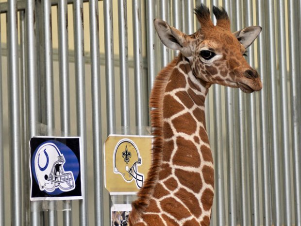 Giraffe Calf Picks Super Bowl Winner