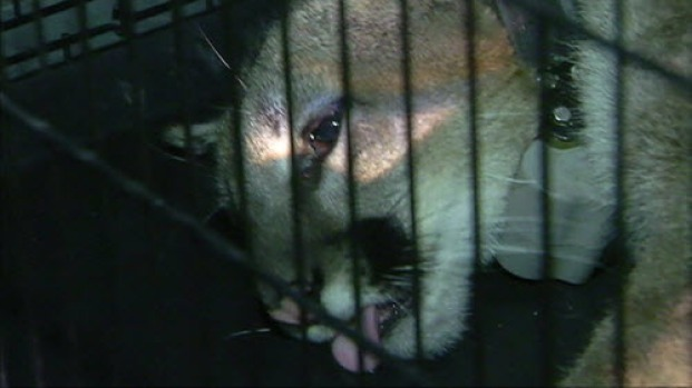 Mountain Lion Tranquilized in Mountain View