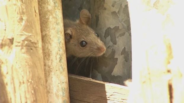 [BAY] Vallejo Neighborhood Plagued With Rats Problem